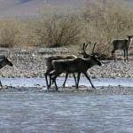 """""""Caribou migrating"""""""