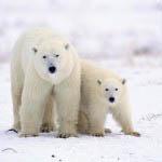 """""""Polar bears in Churchill"""""""