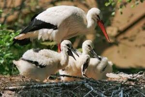"""""""White storks"""""""