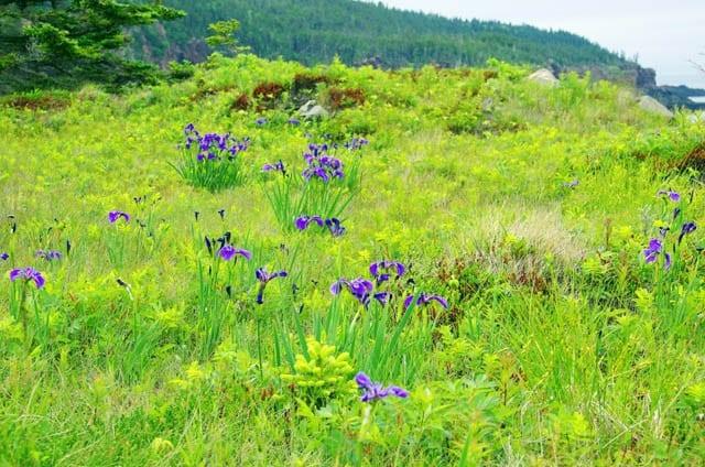 """wild iris blooming"""