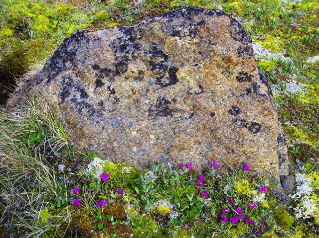 """Hardy wildflowers and one of the 97 types of lichen"""