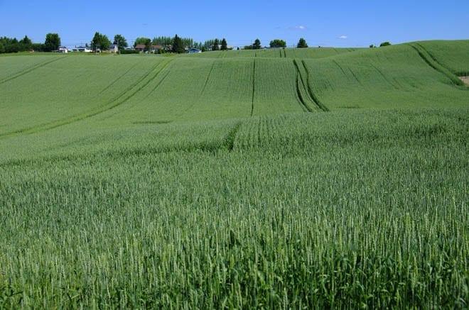 """""""Glorious fields of oats"""""""