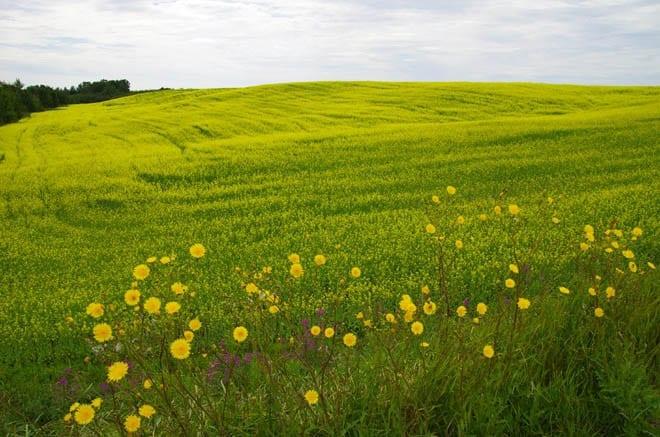 """Fields of canola"""