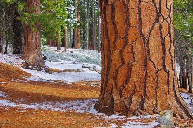 """easy walking among the sequoias"""