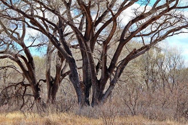"""Big trees along the San Pedro River"""