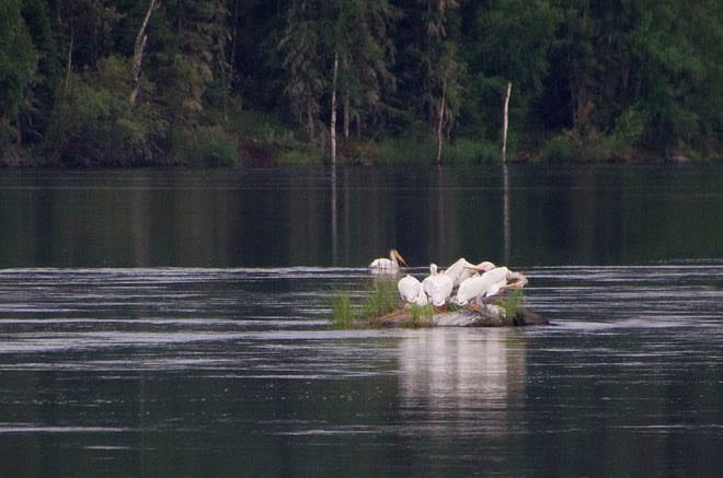 """White pelicans roosting"""