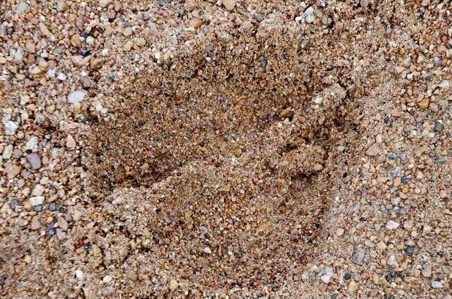 """Moose tracks on the beach"""