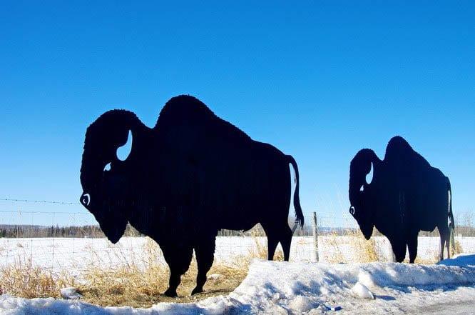 Buffalo art at Rocky Mountain House National Historic Site