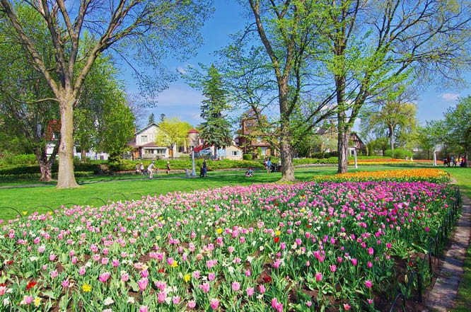 Swaths of tulip beds across from Dow's Lake