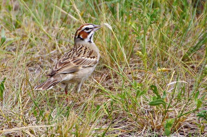 Lark sparrow - Dinosaur Provincial Park