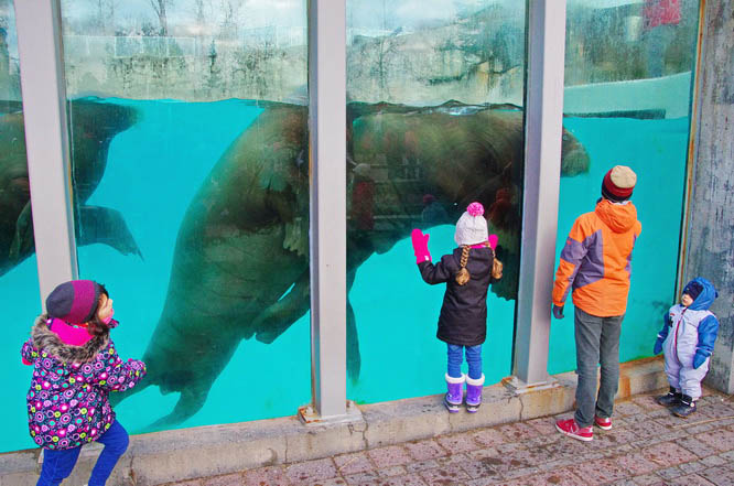 Checking out the walrus at the Quebec City Aquarium