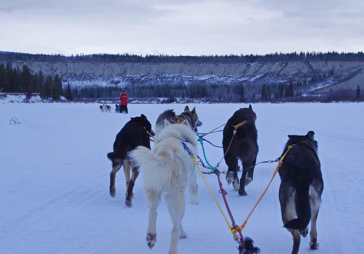 Mush Like a Local: Dogsledding in the Yukon
