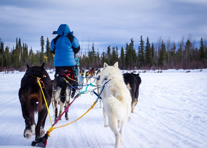 Fantastic dogsledding along the frozen Takhini River, Yukon