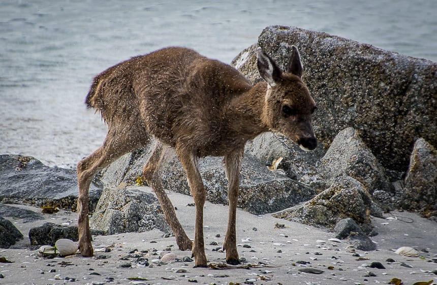 Deer on Clark Island in the Broken Group, BC