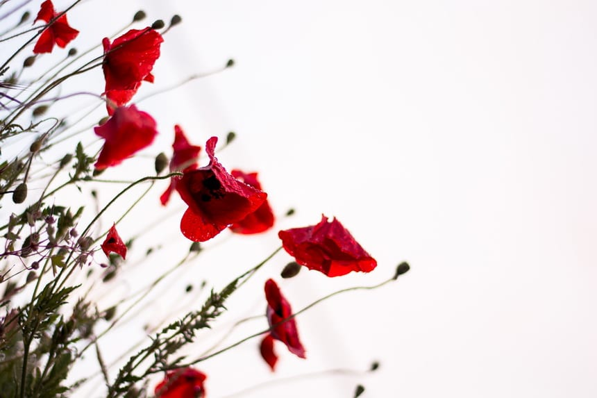 Poppies and Rembrance Day go hand in hand