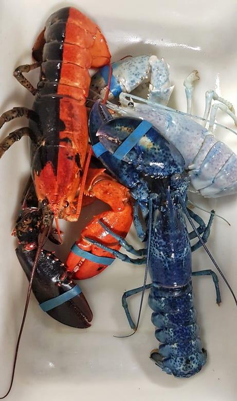 Blue, half and half and albino lobsters at the New Brunswick Aquarium